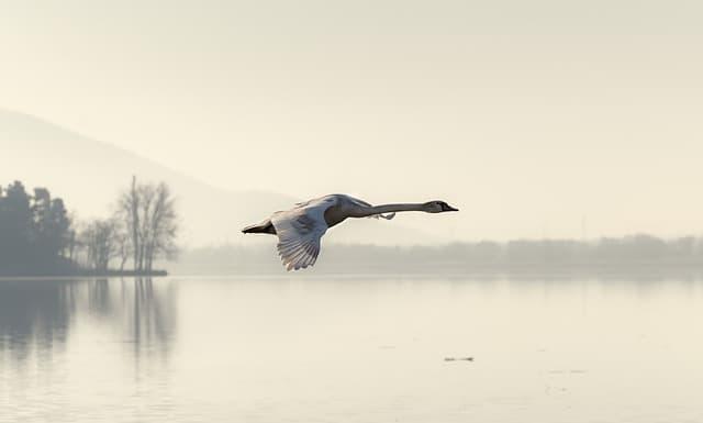 cisne volando ligero